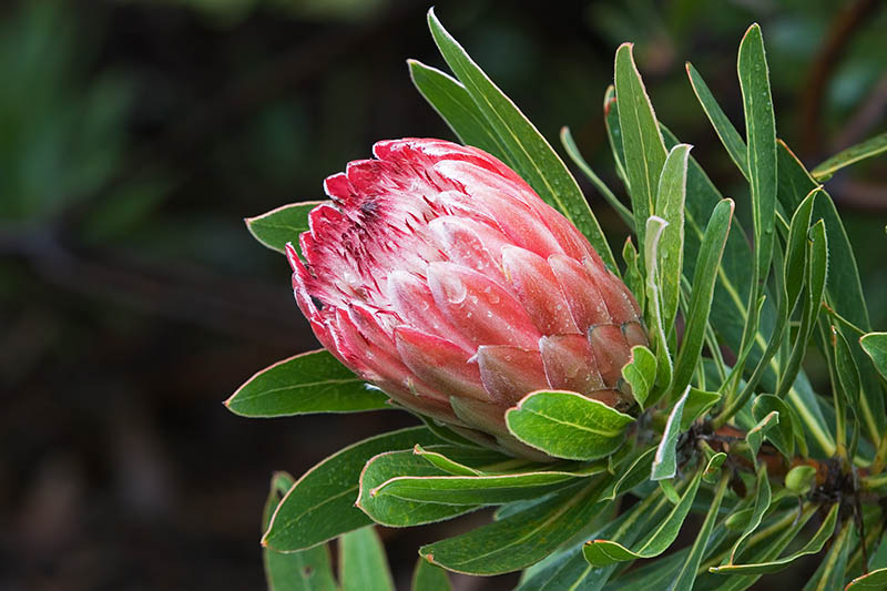 Protea South Africa