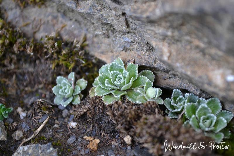 European Landscape Printables - Schilthorn Plants | www.windmillprotea.com