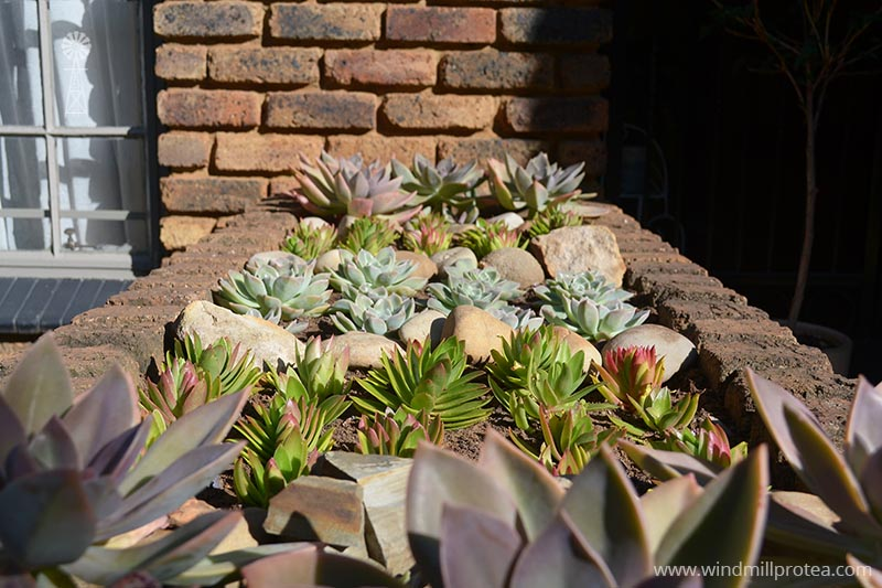 Succulents neatly in a row | www.windmillprotea.com