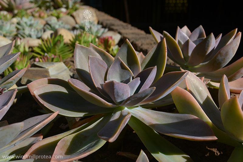 Beautiful succulents | www.windmillprotea.com