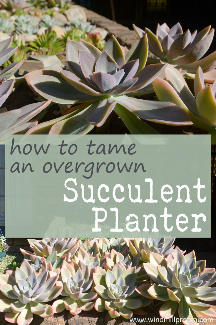 How to tame and overgrown succulent planter