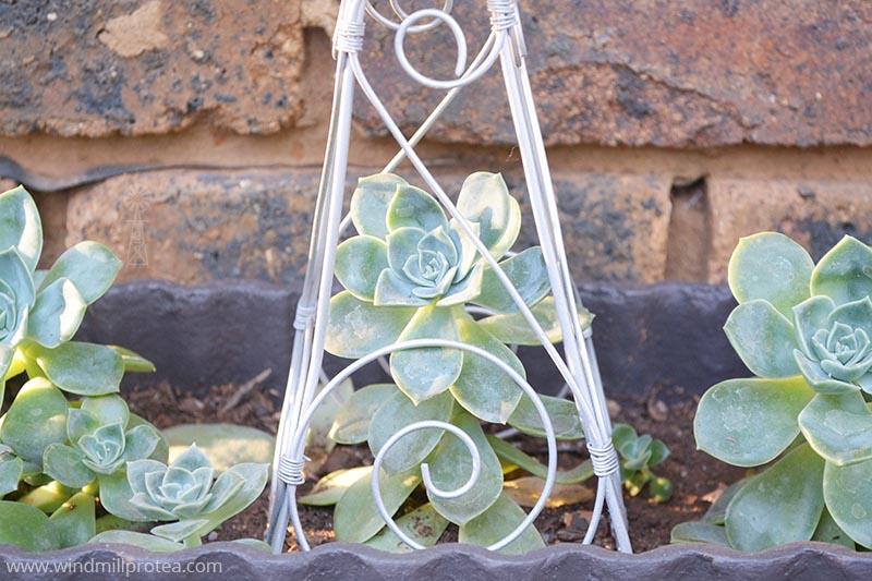 Windmill & Succulent details | www.windmillprotea.com