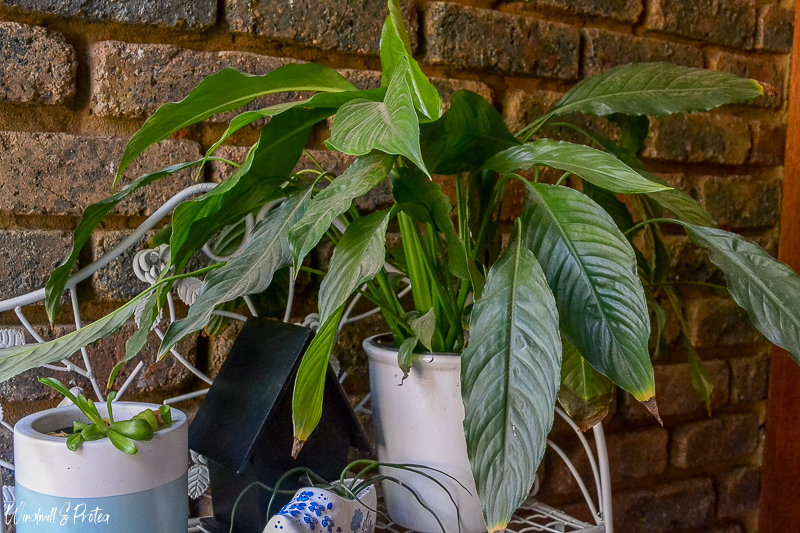Plants in Home Decor - Peace Lilies are easy to care for | www.windmillprotea.com